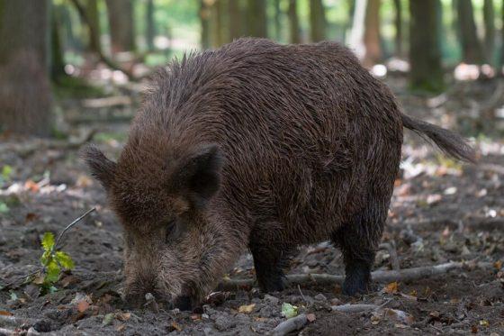 Wildschwein Wald Sprache